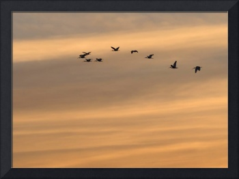 Sandhill Cranes Fly in Sunset Clouds