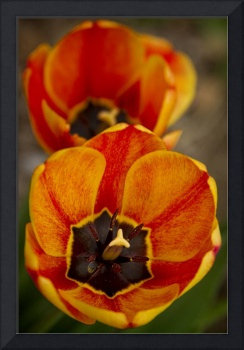 Orange Tulips Close-Up