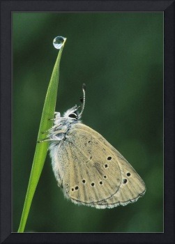 Butterfly On Blade Of Grass, Water Droplet At Top