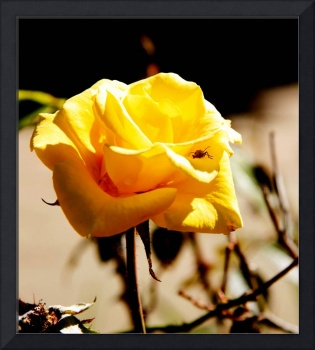 Yellow Rose With Lady Bug