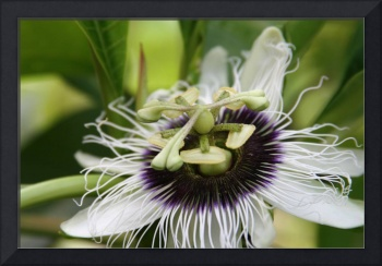 Lilikoi Passion Flower Passiflora edulis Tropical