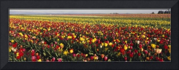 Tulip Field Willamette Valley OR