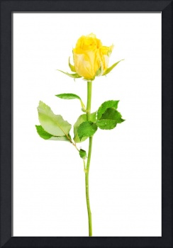 One separated yellow rose. Isolated on white.