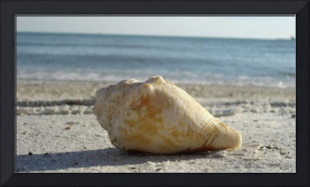 Conch Shell In The Sand