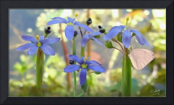 Blue-Eyed Grass at Lake Tarpon