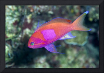 Papua New Guinea, Milne Bay, Square-Spot Anthias,