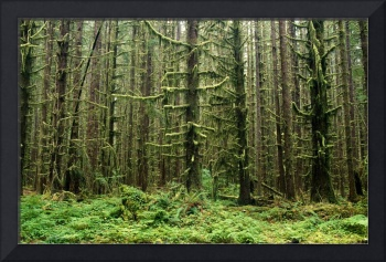 Old Growth Forest In The Hoh Rain Forest At Olympi