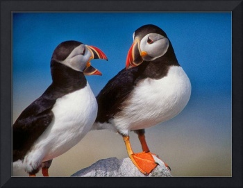 Puffin Birds,France