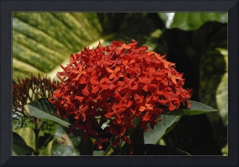 Cayman Islands Plant Life: Red Ixora