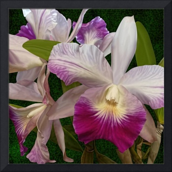 Magenta and White Orchid