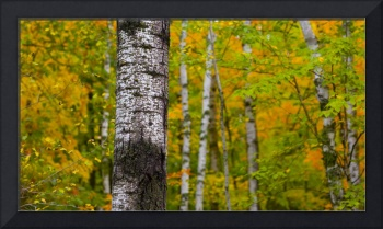 September Birch in Green, Orange, and Yellow