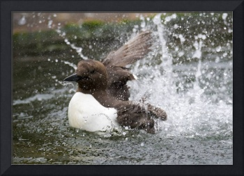 Murre Splash