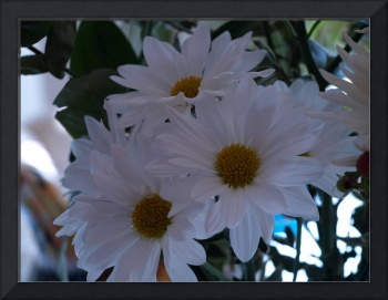 Special White Daisey