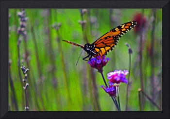 Butterfly  Monarch in Field