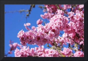 Tree Blossoms Pink Spring Trees Art Prints