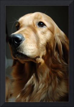 Poppy - Golden Retriever Portrait