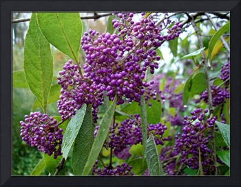 A Little Rain for Purple Berries