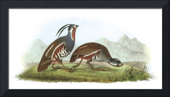Mountain Quail Bird Audubon Print