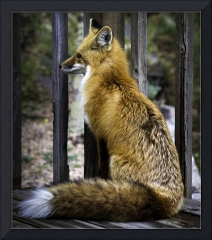 Regal Fox