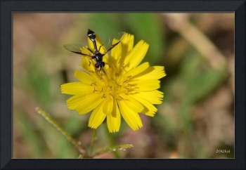 Black Wasp on a Dandelion Flower