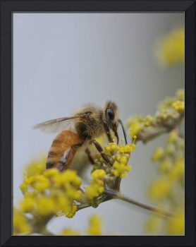 Honey Bee Feeds On Yellow Fennel Flower 2