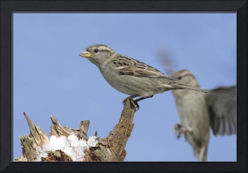 House Sparrow Photograph