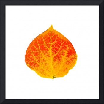 Red and Yellow Aspen Leaf 1