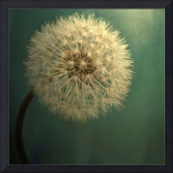 Dark Teal Texture with Dandelion Soft White Flower