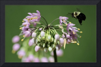 Bumblebee on Nodding Onion Flower