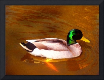 Duck on Golden Pond