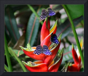 Banded Purplewing Butterfly Trio on Heliconia