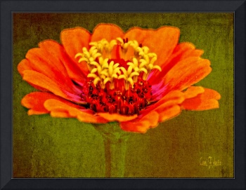 Orange and Yellow Zinnia Flower Picture