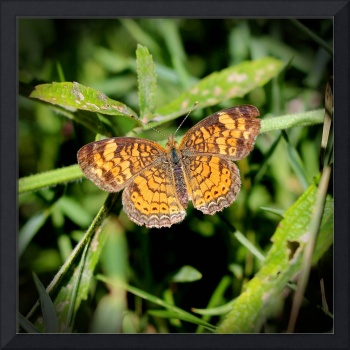 Pearl Crescent Butterfly 2016