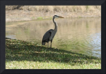 Heron on River Bank