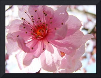 Spring Tree Blossoms Pink Flowers Art Prints