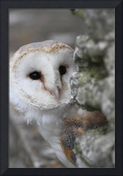 Barn Owl Up Close
