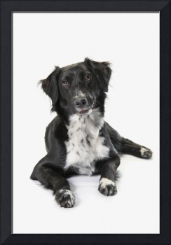 Border Collie On A White Background