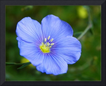 Botanical - Blue Flax - Outdoors Floral