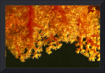 Solomon Islands, Close-Up Of Orange Soft Coral Wit