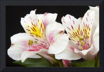 Peruvian Lilies Colorful Botanical Fine Art Print