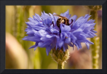 The Bee And The Cornflower