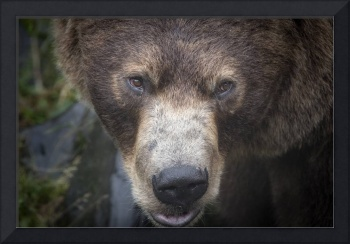 Brown Bear Face