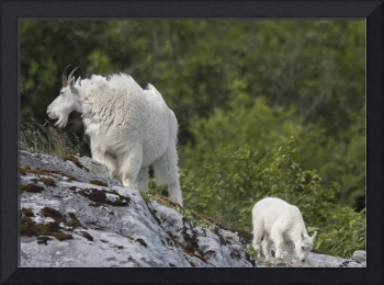 Mountain Goat and Kid, Glacier Bay National Park,