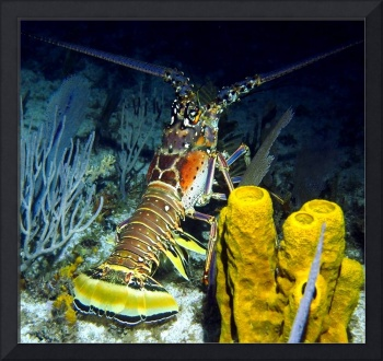 Caribbean Reef Lobster at Night