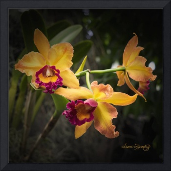 BRILLIANT ORCHIDS
