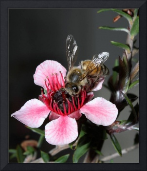 Bee on NZ Tea Plant
