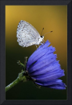 Small blue butterfly on flower blossom