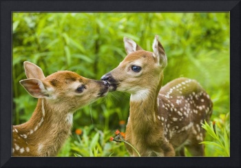 Twin White-Tailed Deer Fawns Nuzzling Together In