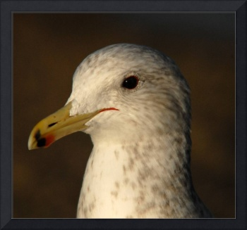 California gull composite shot
