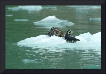 Harbor Seal Mom and Pup, Tracy Arm, Alaska